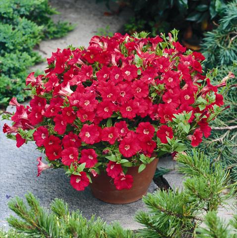 photo of flower to be used as: Basket / Pot Petunia Tiny Tunia Red