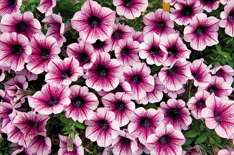 photo of flower to be used as: Bedding pot or basket Petunia hybrida Poptunia Burgundy