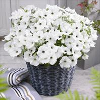 GO!Tunia® White