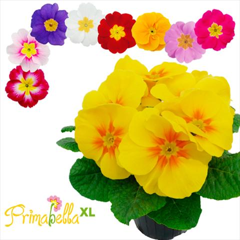 photo of flower to be used as: Pot and bedding Primula acaulis, veris, vulgaris Primabella XL