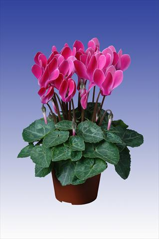 photo of flower to be used as: Pot Cyclamen persicum Super Serie® Verano® F1 Wine Red Flamed