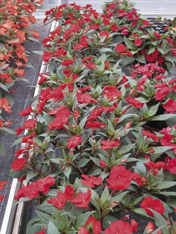photo of flower to be used as: Bedding pot or basket Impatiens N. Guinea SunPatiens® Compact Rosso carminio