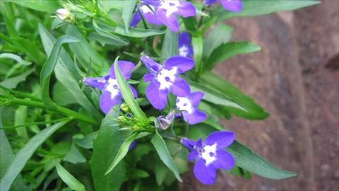 photo of flower to be used as: Pot, bedding, patio, basket Lobelia California® Dark Blue with eye