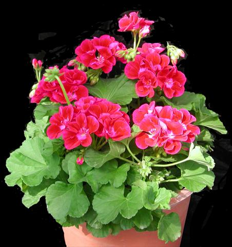 photo of flower to be used as: Pot, bedding, patio Pelargonium zonale Amore Mio Strawberry®